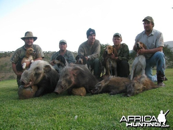 Bushpig with Hounds
