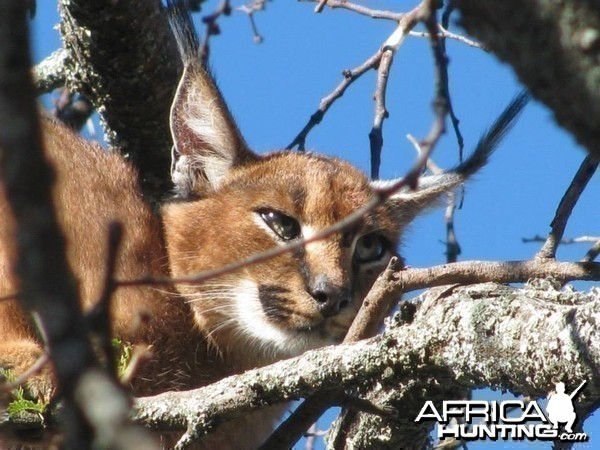 Caracal Treed by hounds.