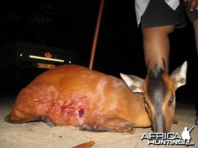 Red Duiker Hunt in Tanzania