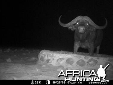 Cape buffalo Namibia