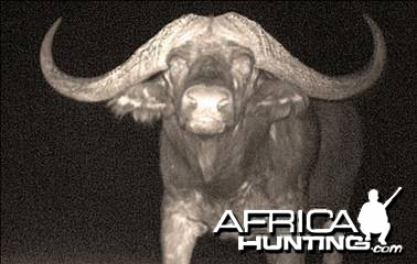 Cape buffalo Namibia