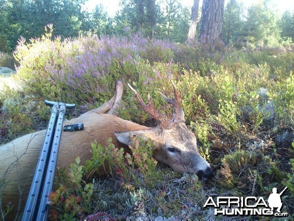 Roe Buck Sweden