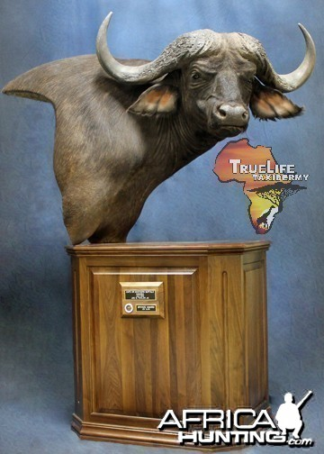 My Caprivi Bull from TrueLife Taxidermy