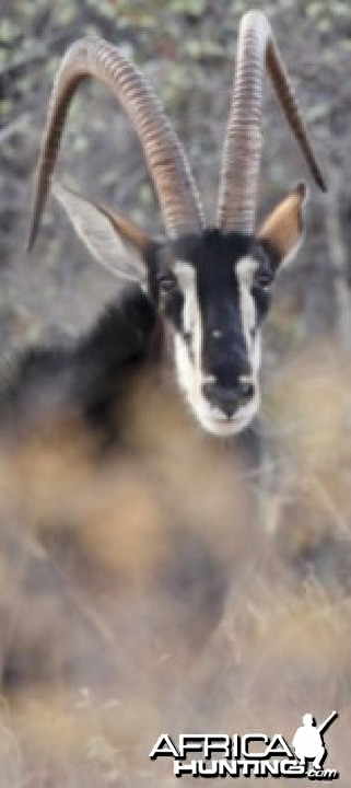 Sable Antelope on the Waterberg Plateau in Namibia