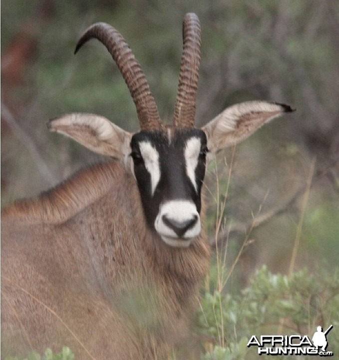 Roan Antelope on the Waterberg Plateau in Namibia