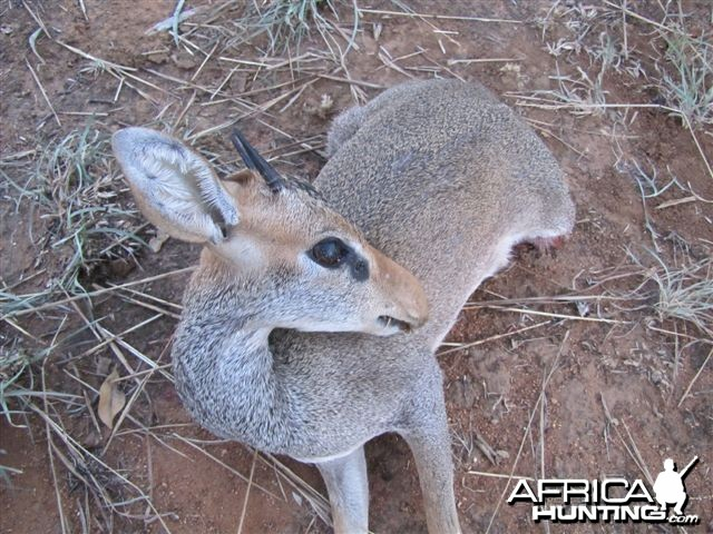 Guenther Dik Dik Hunted in Uganda
