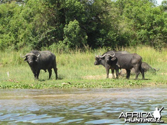 Buffalo Uganda