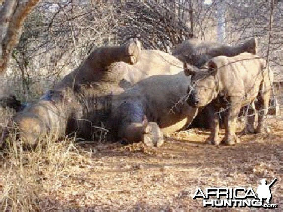 Poaching Rhino in Zimbabwe (Black Rhino)