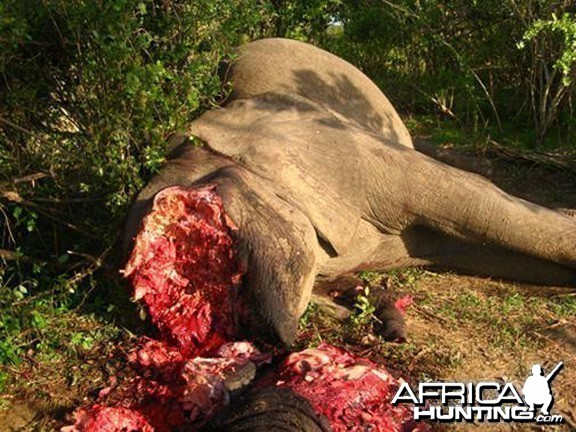 Poaching Elephant