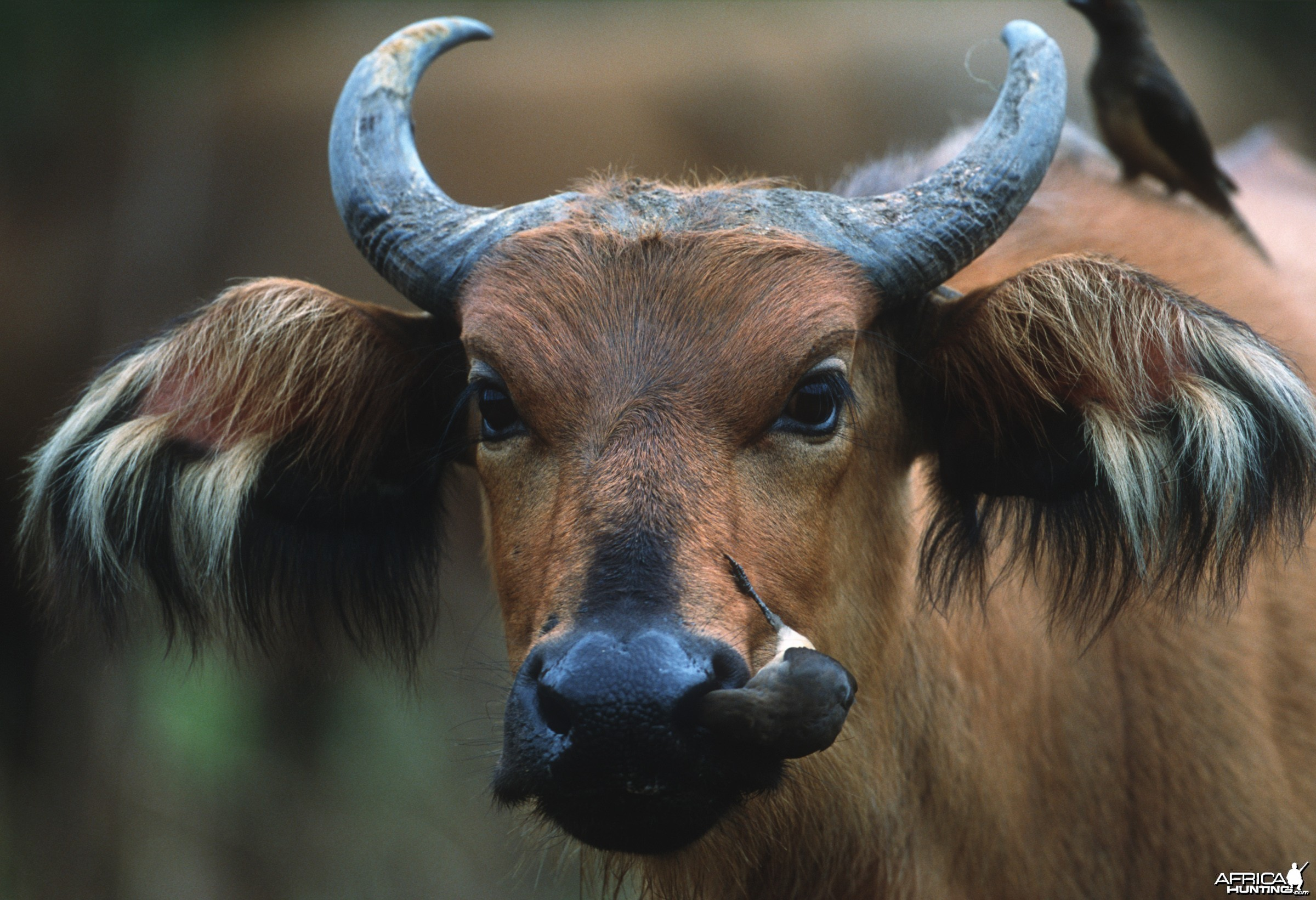 Red Forest Buffalo from Ethiopia