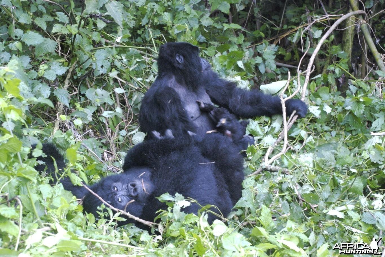 Gorilla Tracking - Kisoro, Uganda