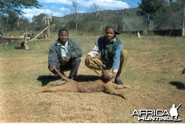 Large Male Caracal Tracked by Sparks Hounds