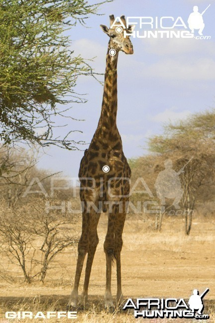 Giraffe Hunting - Front View Shot Placement