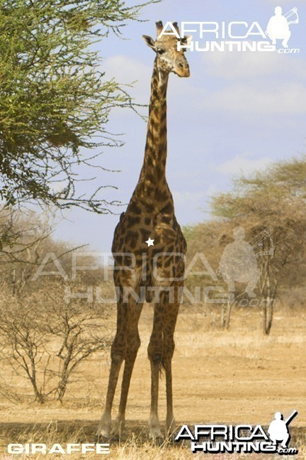 Giraffe Bowhunting - Front View Shot Placement