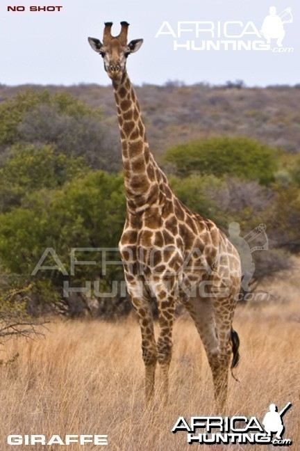 Giraffe Bowhunting - Quarter View Shot Placement