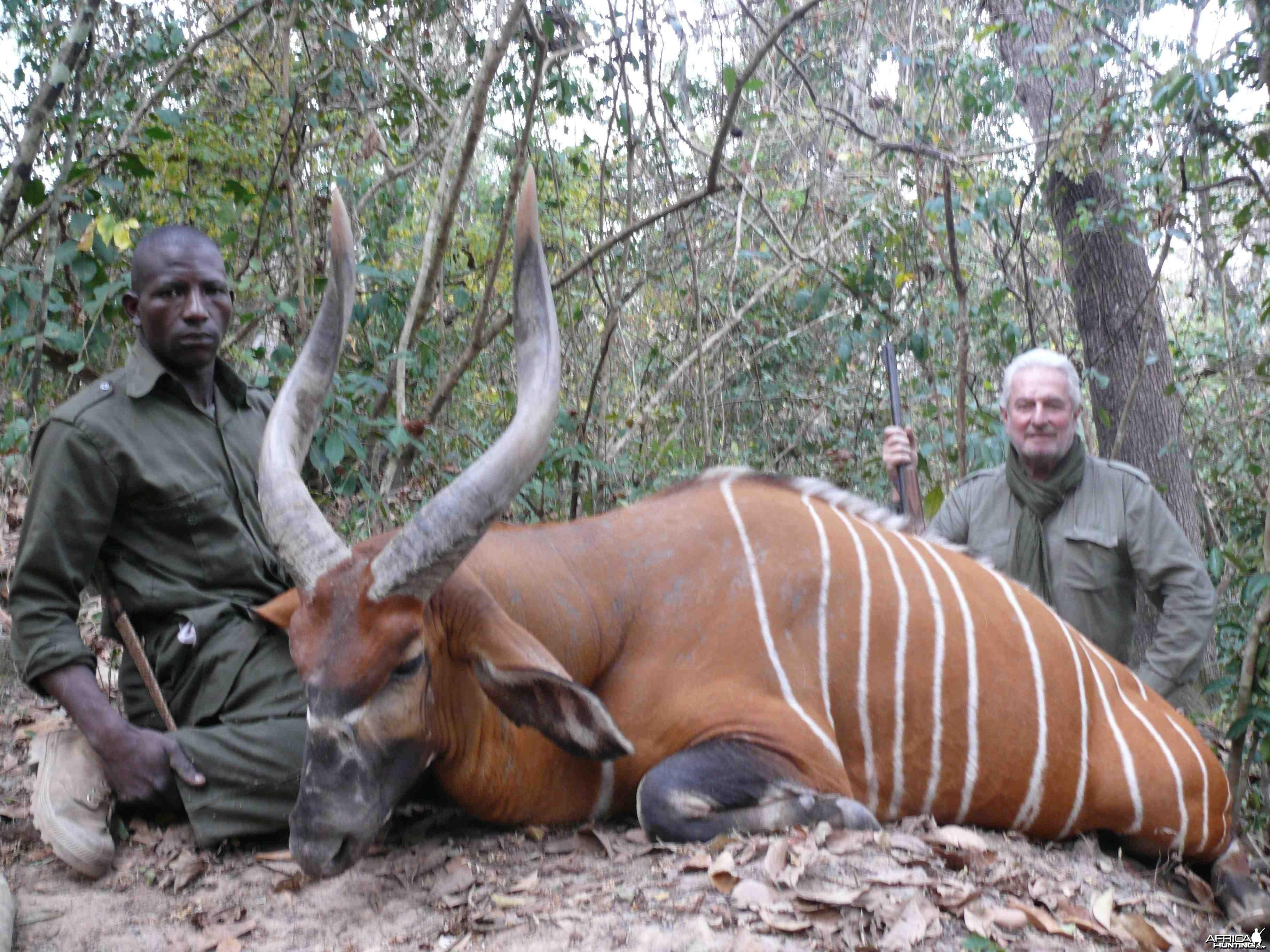 Exceptional Bongo hunted in Central African Republic