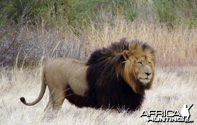 Big mane lion in South Africa