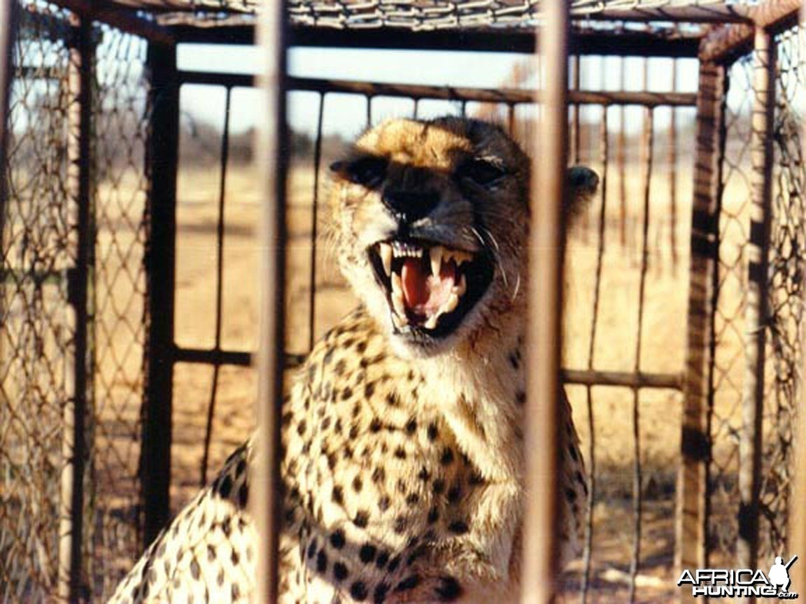 Cheetah waiting to be relocated