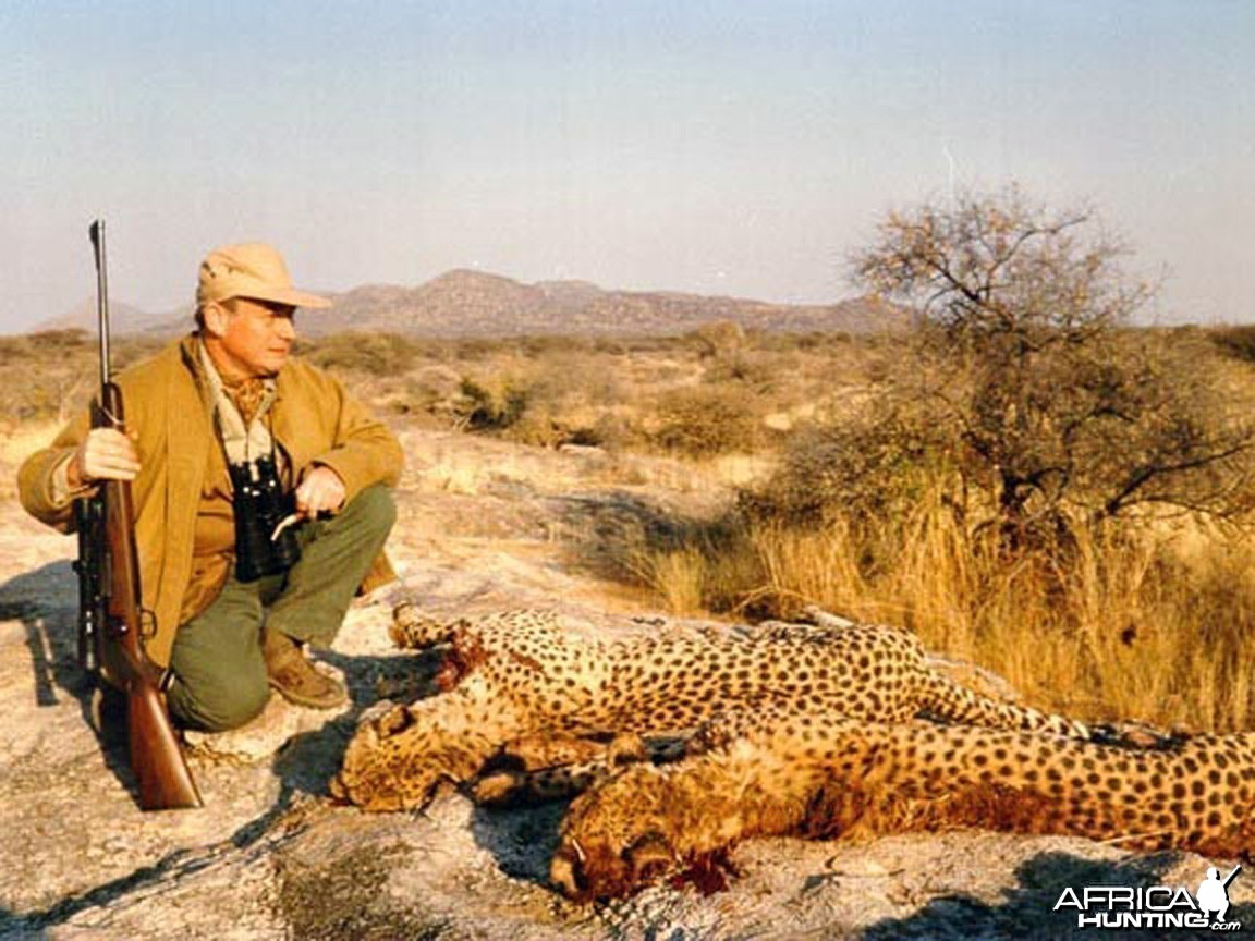 Hunting Cheetah Namibia
