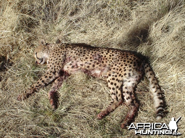 Cheetah Hunting Namibia