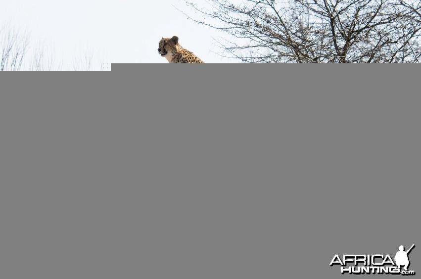Cheetah Scouting