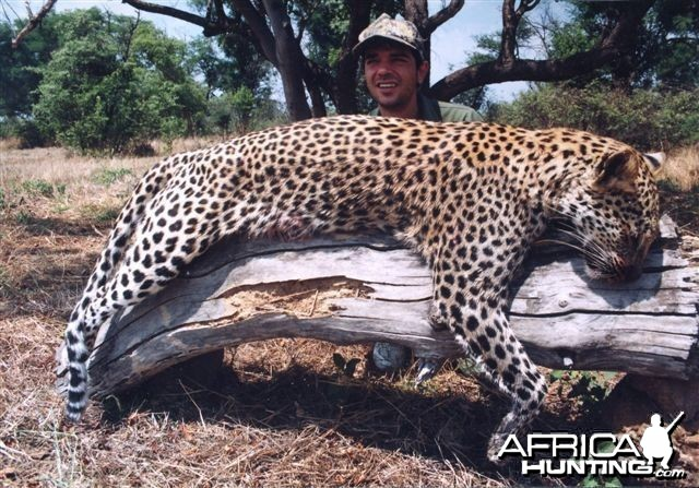 Leopard Hunting over a Pack of Trained Dogs in Mozambique
