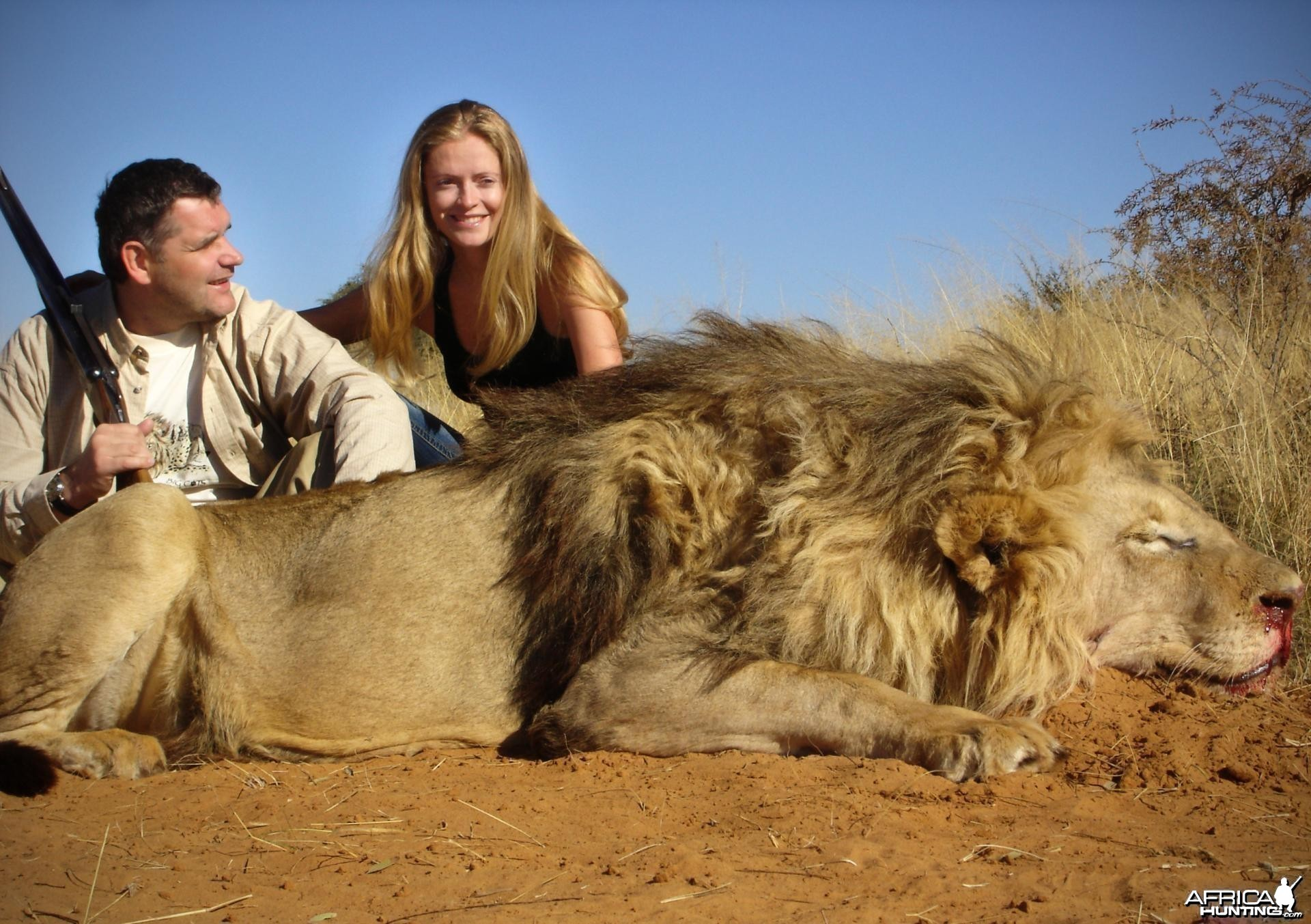 Big mane Lion hunted in South Africa
