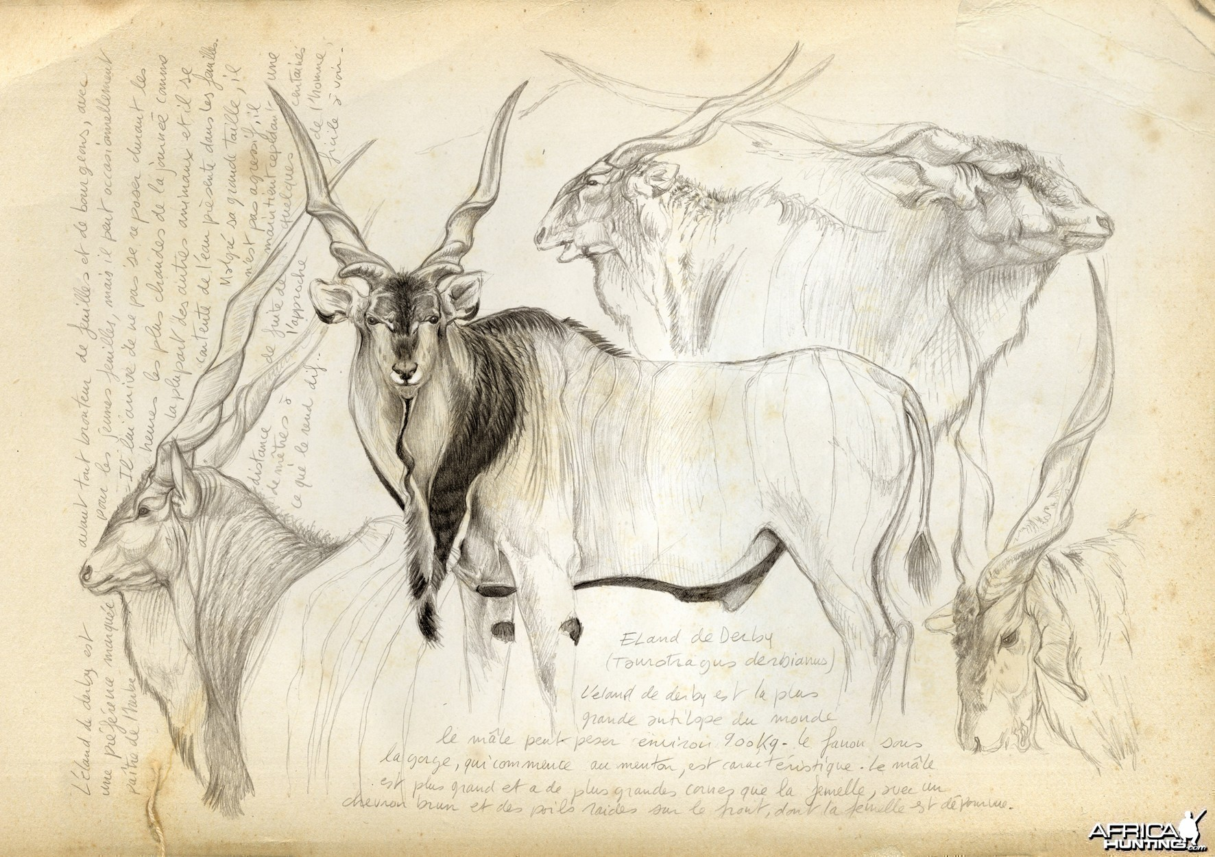 Wildlife Artist Marcello Pettineo - Derby Eland
