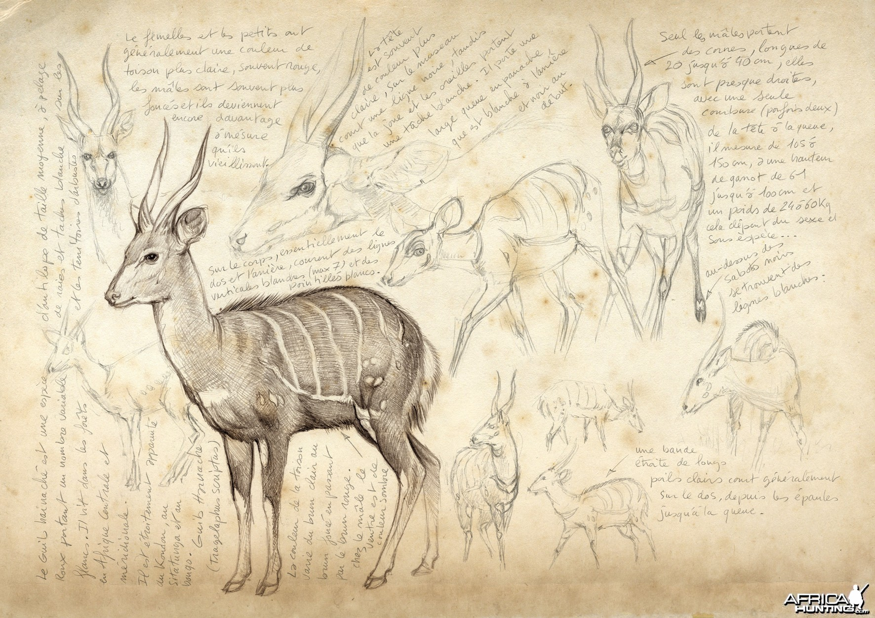Wildlife Artist Marcello Pettineo - Bushbuck
