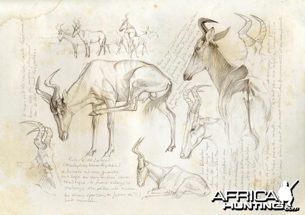 Wildlife Artist Marcello Pettineo - Hartebeest Lelwel