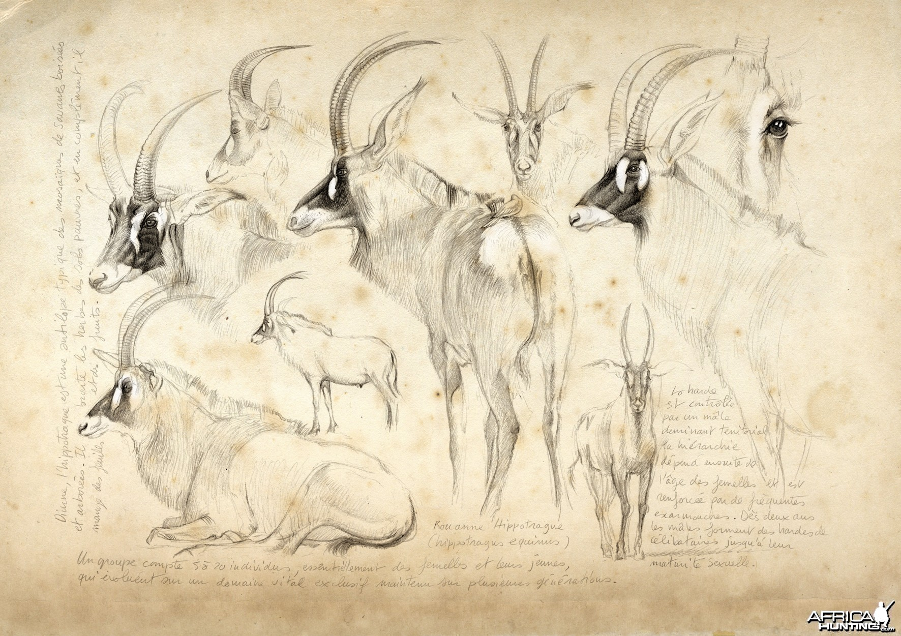 Wildlife Artist Marcello Pettineo - Roan Antelope