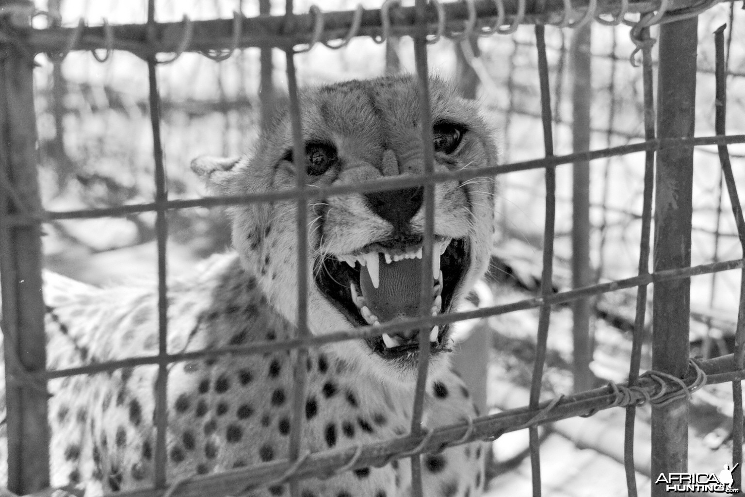 Cheetah being relocated by Cheetah Conservation Fund (CCF)