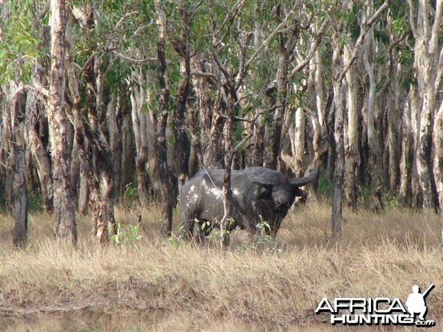 Asiatic buffalo bull, Arnhemland, Australia