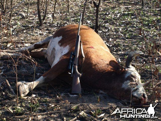 Wild Oxen, Arnhemland, Australia.