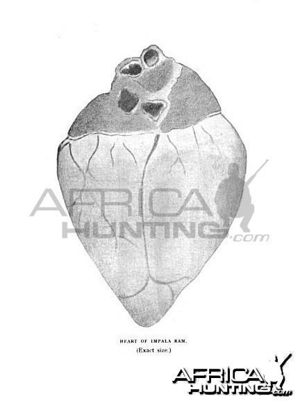 Vital Organs Impala Heart