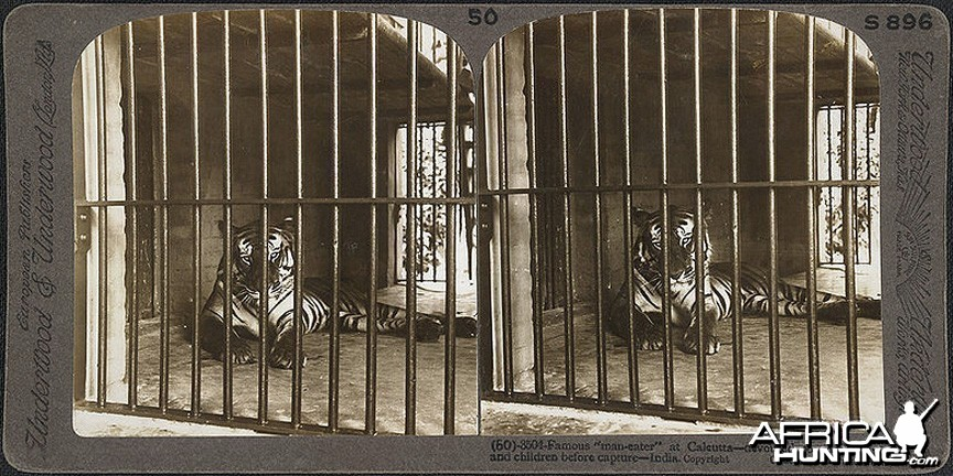 Man-eater Tiger Calcutta 1903