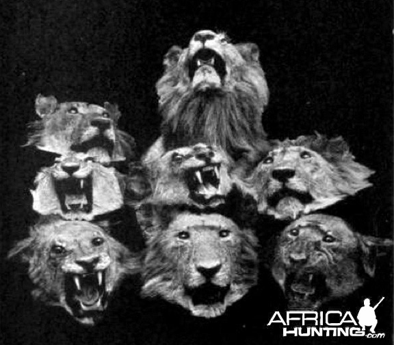 Heads of eight Lions shot by Colonel John Henry Patterson
