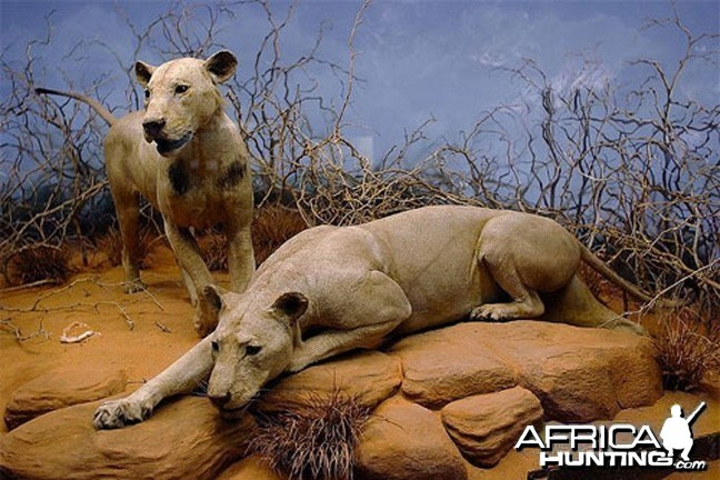 The Tsavo Man-eaters at the Chicago Field Museum