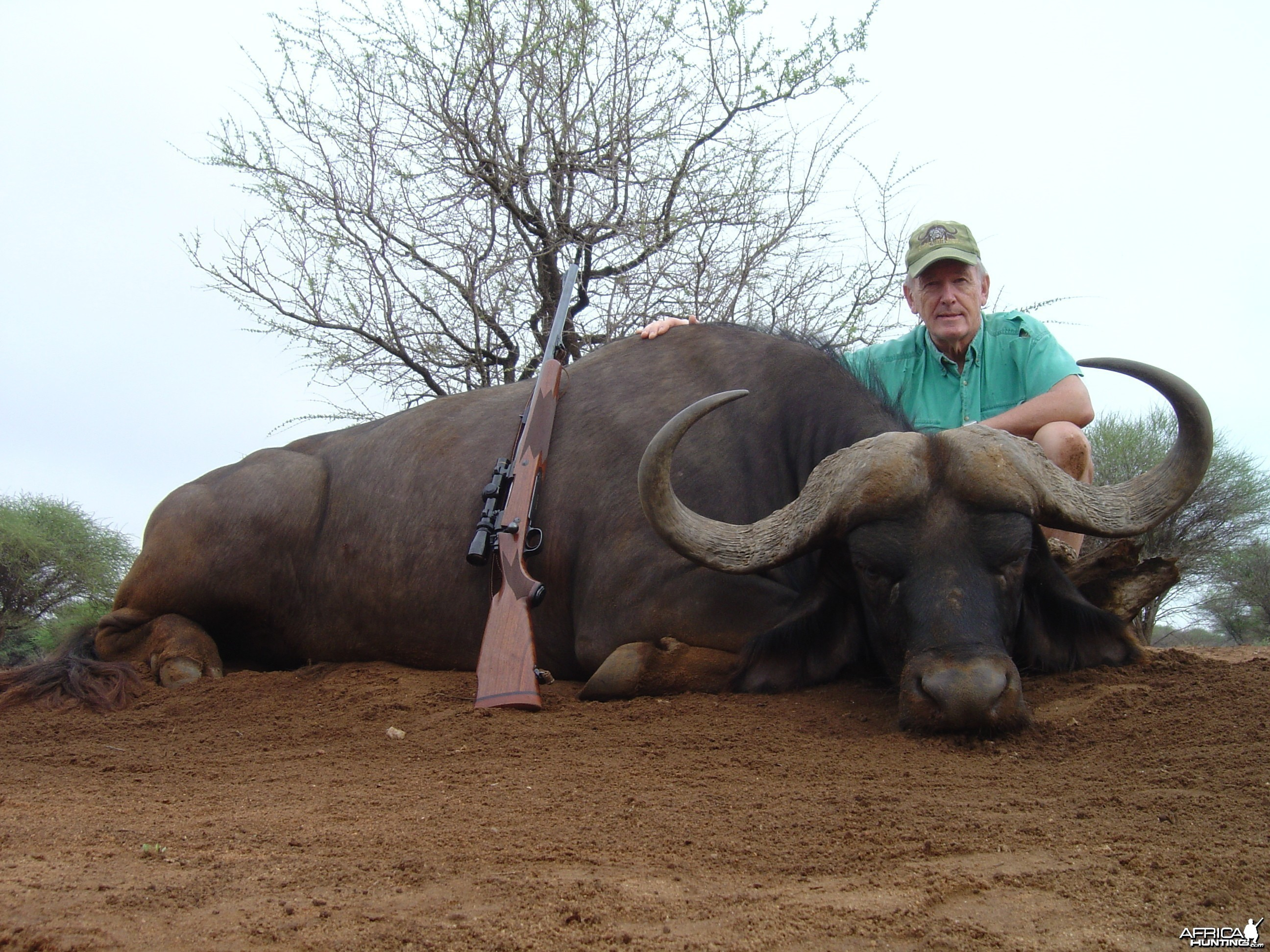 Cape Buffalo hunted in South Africa