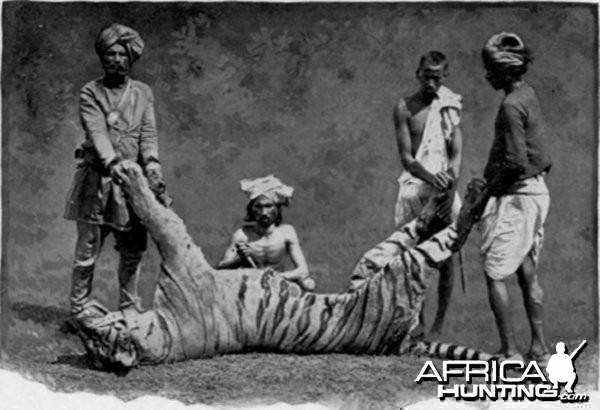 Man-eater Tiger 1880