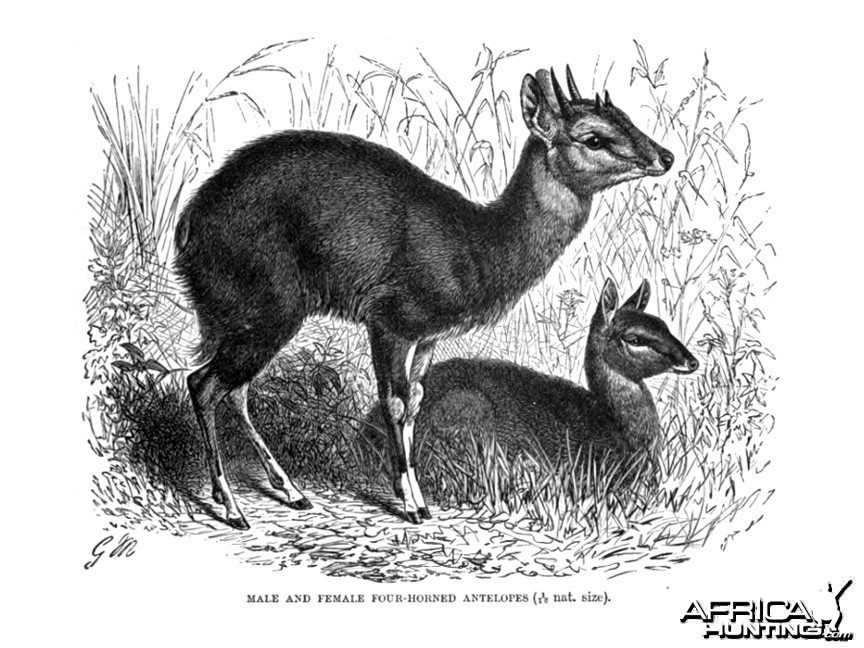 The Four-horned Antelope, Chousingha, from India
