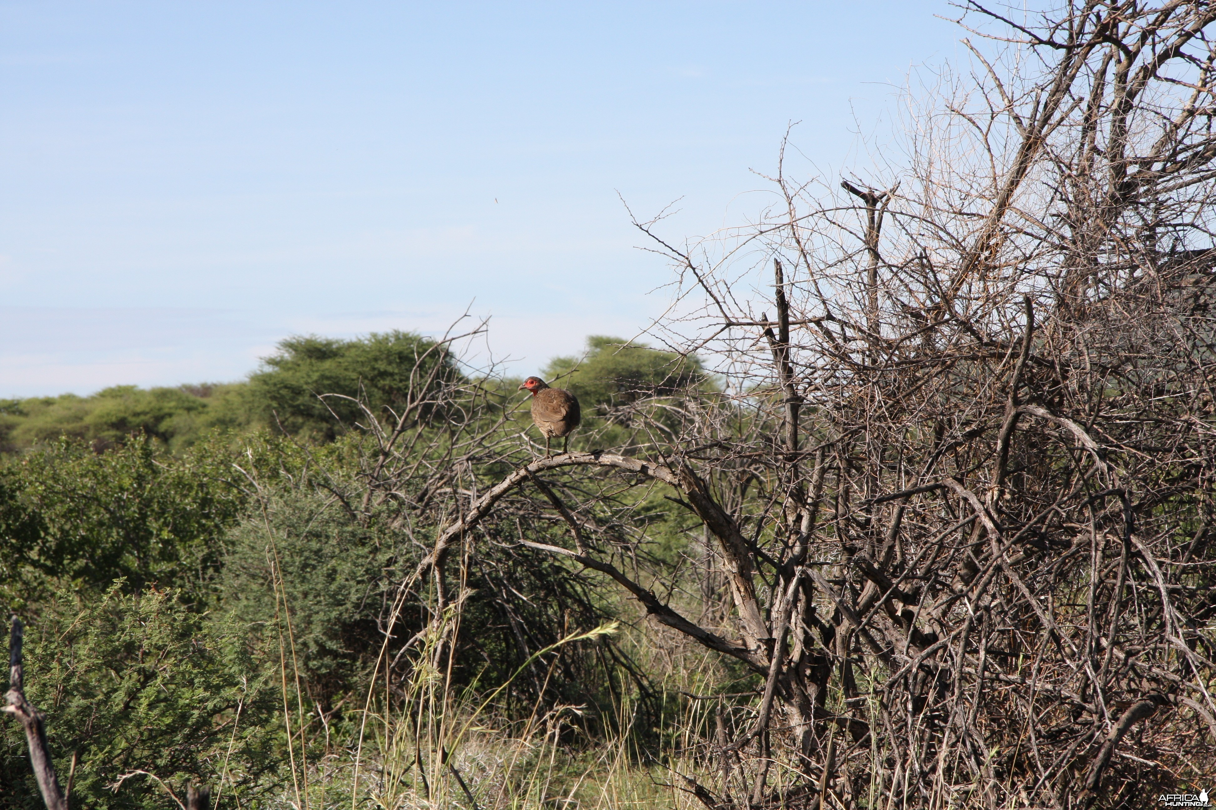 Swainson's Francolin, Namibia