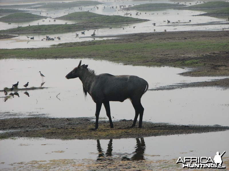 Nilgai antelope; Keoladeo National Park, Bharatpur, India