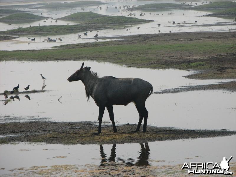 Nilgai antelope; Keoladeo National Park, Bharatpur, India
