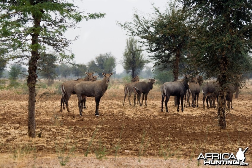 Nilgai Antelopes Under The Rain In Desert. India, Rajasthan
