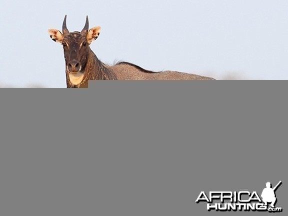 Nilgai also known as Blue Bull