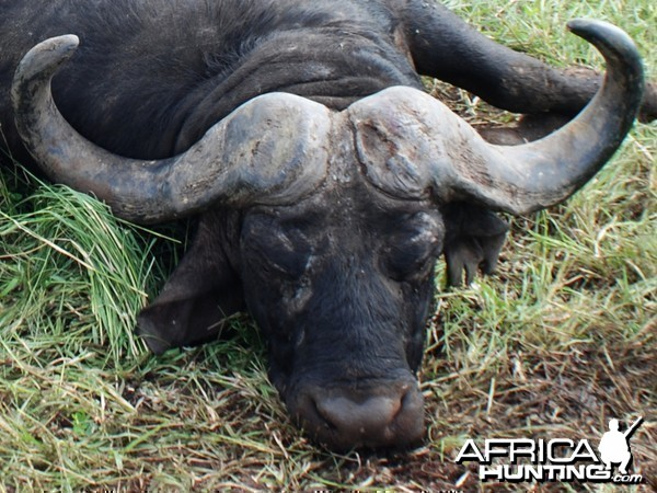 I shot my big Buffalo with my bow... in Mozambique