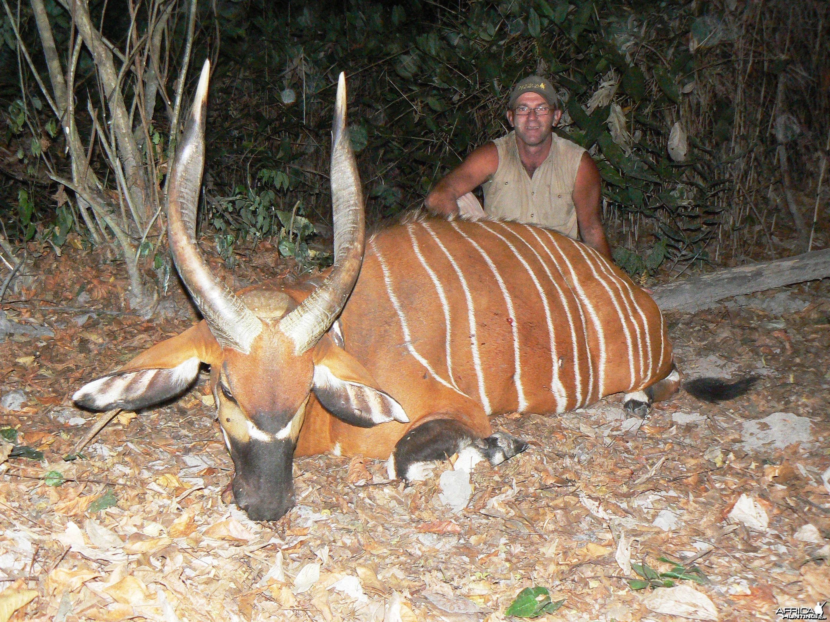 26 inches Bongo hunted in CAR