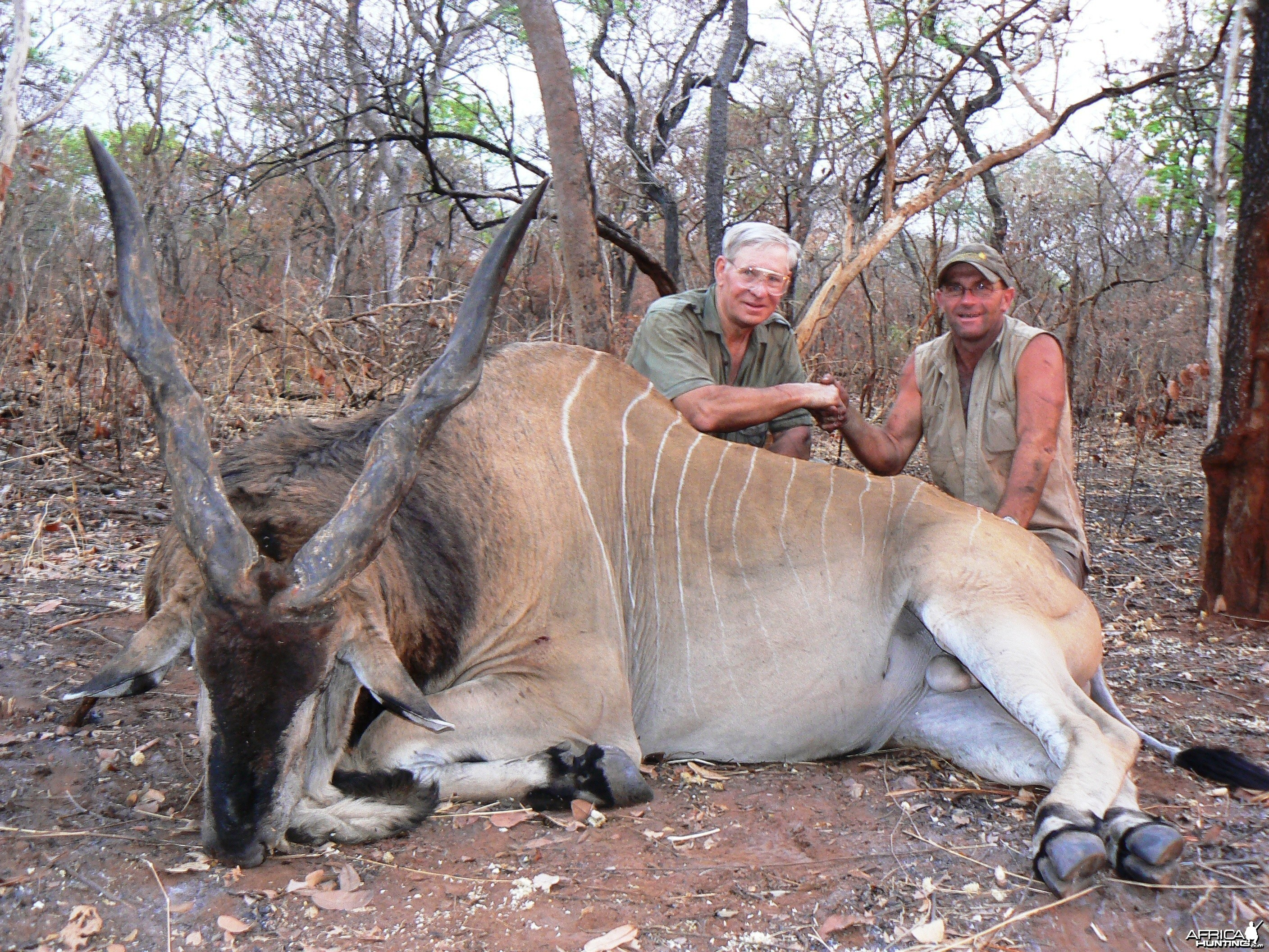 Very old, worn down Derby eland, hunted in CAR