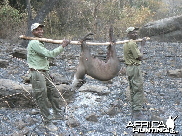 Back to the truck!!! with a yellow backed duiker